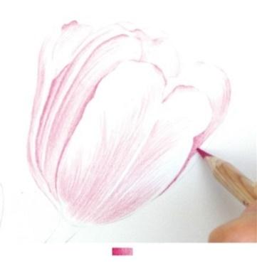 彩色铅笔画教程郁金香绘画步骤彩铅教程