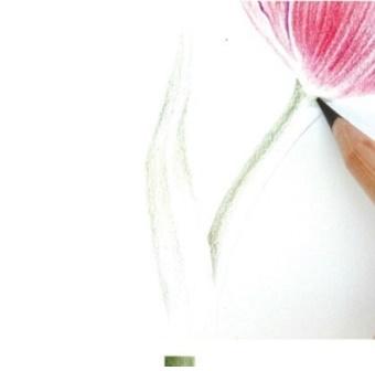 彩色鉛筆畫教程郁金香繪畫步驟彩鉛教程