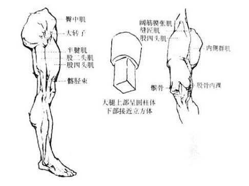 脚的形状主要由骨骼结构决定