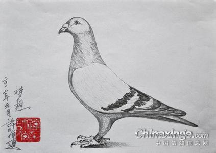 素描鸽子的刻画
