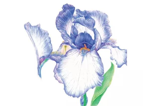 彩色铅笔画教程画一朵优雅浪漫鸢尾花